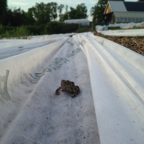The farm toad overseeing the farm work.