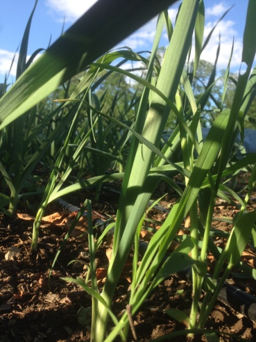 The papery leaves of the leeks stretching for the sun.