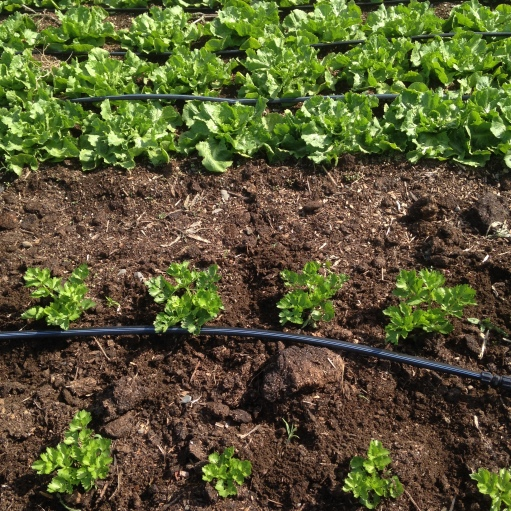 Some new crops for us this year: escarole and celery.  These should be ready at a time when we felt like we needed more in the shares last year.  They are growing up quite nicely!