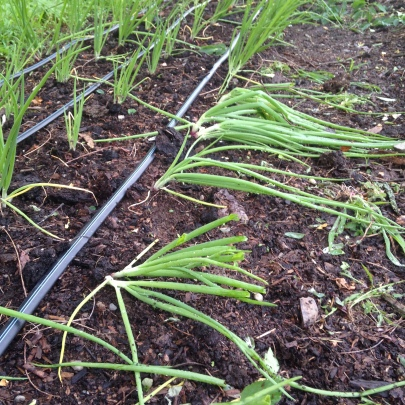 A tree landed on these few onions, but they still seem to be green and growing!