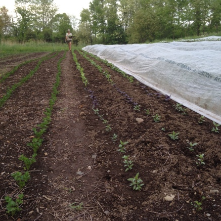 All the basil and celeriac, glad to be in the ground.
