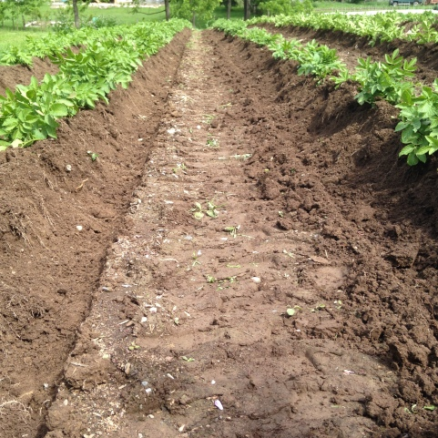 Freshly hilled potatoes: bringing up the dirt around the potato plant gives it room to grow more and more potatoes.