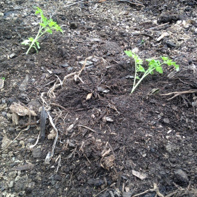 Tomatoes planted on their sides so that their long stems can send out some amazing roots.  We can't wait until until tomato season!!