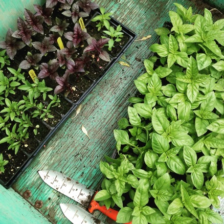 Basil waiting to  be planted.  We added in just a few plants of Thai, Purple, and Lemon basil (the tray on the left), so that you can occasionally use them for something other than pesto.