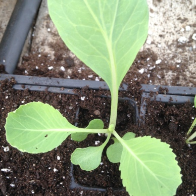 A cabbage seedling, almost all grown up and ready to go into the ground soon for a fall harvest.