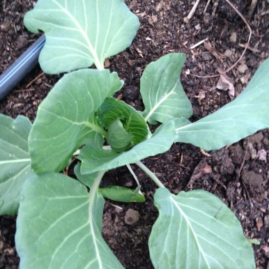 A cabbage plant as it first starts to close in on itself.