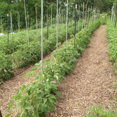 Freshly trellised tomatoes always look so neat and tidy (for a short while, at least!).