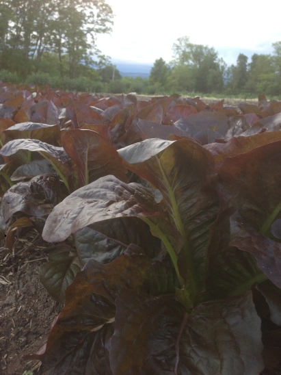 Beautiful red romaine that you'll be getting this week!