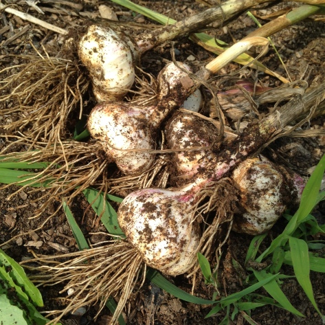 Garlic fresh from the ground