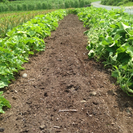 The bed that held the garlic is a now clean slate for the winter squash plants to stretch and grow their long vines.