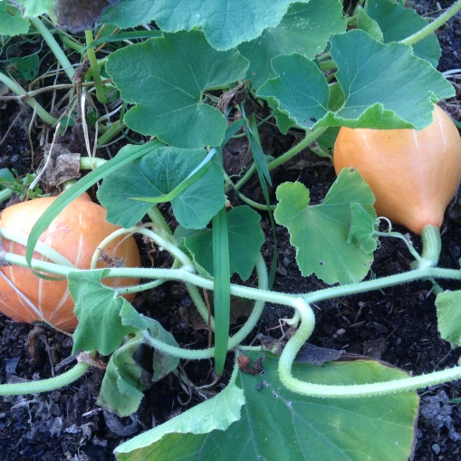 Red Kuri winter squash coming along quite nicely!