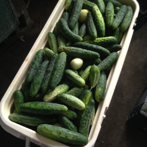 From last week:  this is what 3 pounds of cucumbers per person looks like...for just one of our distribution days!