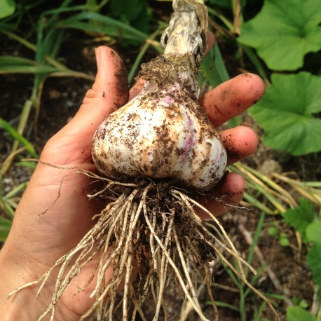 Monstrous soft neck garlic we harvested today