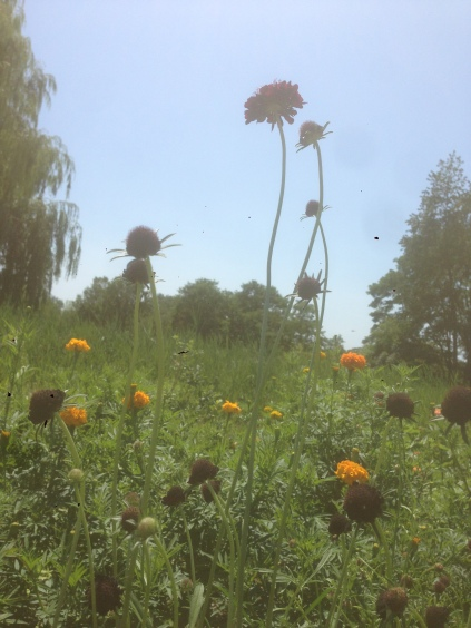 Scabiosa and marigolds hazy in the heat.