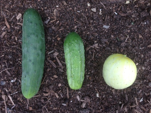Cucumbers left to right: Marketmore, National Pickling, and Lemon