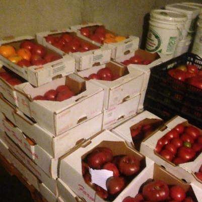 Tomatoes behind-the-scenes in the root cellar awaiting distribution