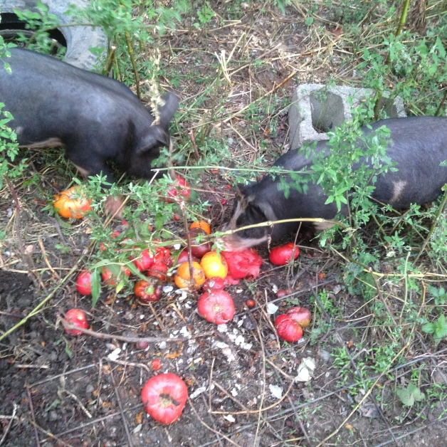 Pigs + tomatoes = true love.  They were so busy eating that they wouldn't even smile for my picture!  :)