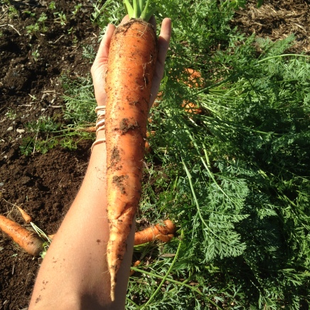 Anyone know of a Biggest Carrot competition we could enter?