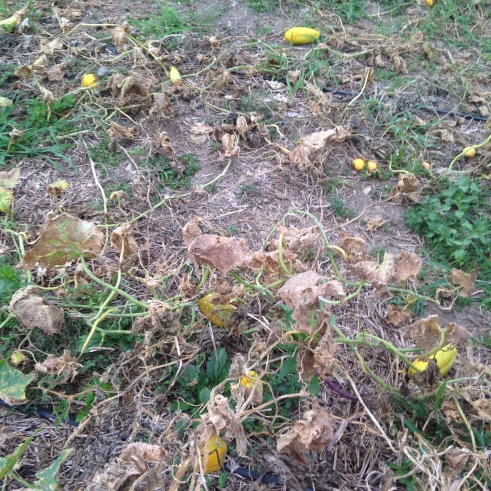 Bye bye dead and weedy cucumber patch #1....