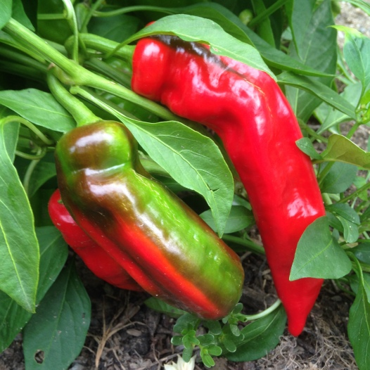 You've been getting shades of purple, yellow, and green peppers, but we're hoping to add some red soon!   We have a few of these beautiful Corno di Toro peppers just starting to ripen.