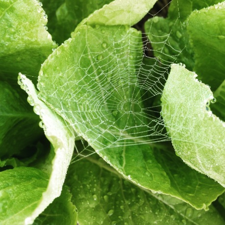 Lettuce and web