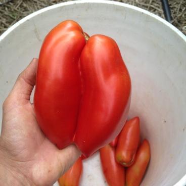 Siamese twin tomatoes!