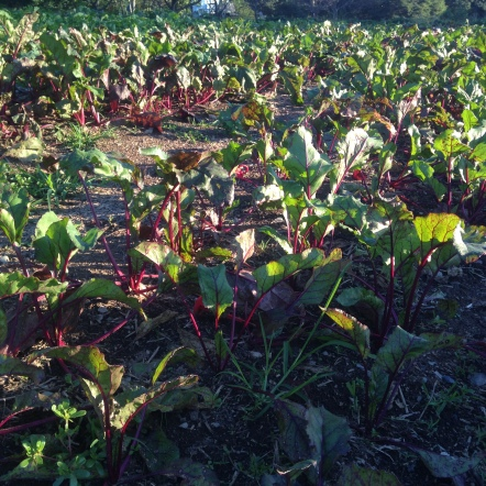 Remember all those beet greens we gave you? They were the thinnings from these beet beds. Now the beets can stretch out and grow big!