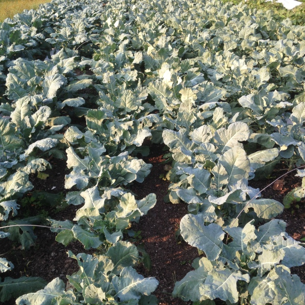 A sea of huge broccoli plants that we're still hoping will actually give us broccoli this year!