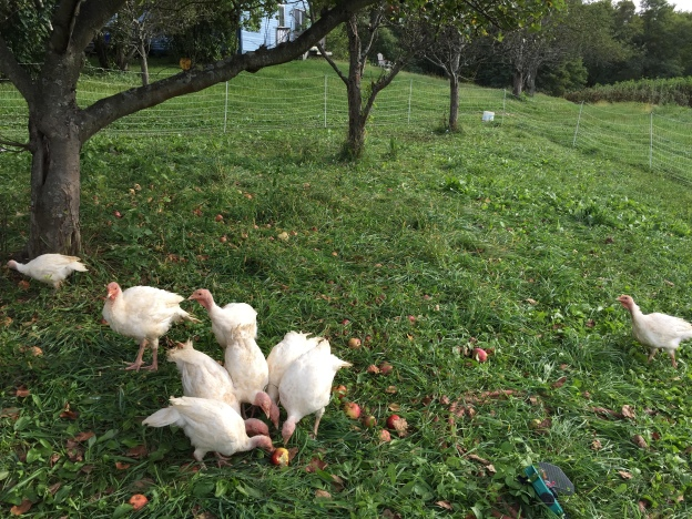 Turkeys hanging out, fighting over (or maybe sharing?) some tasty apples.