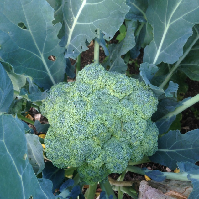 Okay, one more picture of broccoli, just because I can!!