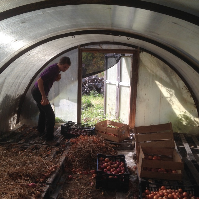 Rainy days are great for hanging out in the hoophouse and prepping onions for distribution!  As mentioned in an early post, this year was not great for onions at all.  We had a significantly smaller harvest than last season, and even the onions we have are much smaller in size.  That's part of what makes farming so interesting--every season is different and we get to see how various crops fare in different conditions.  You, in turn, get to experience it too, through eating more of the crops that do well and less of those that don't!