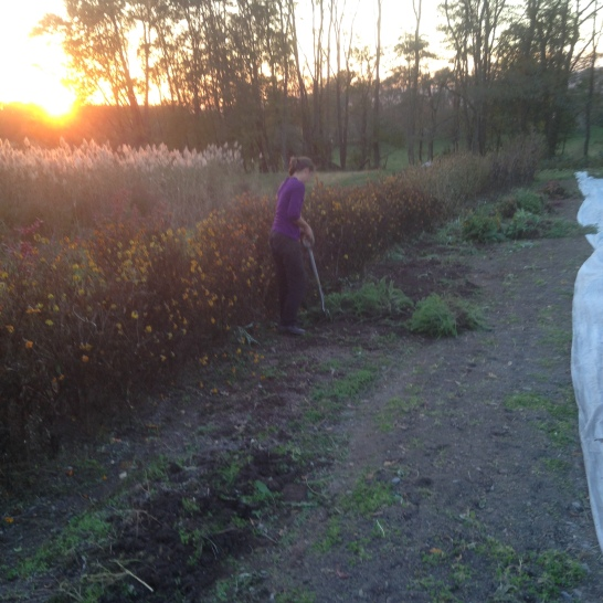 The photo in which I hack away at the tenacious roots of the yarrow with a spading fork.