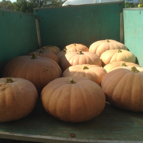 These pumpkins are also enormous, and can't wait to meet you. I spoke with them personally.