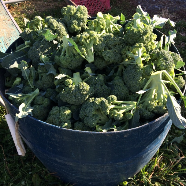 The broccoli certainly isn't complaining about the beautiful November we've had!