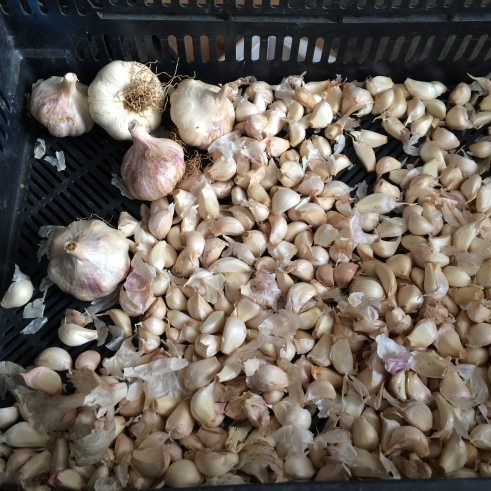 Softneck garlic, broken apart and ready for planting.