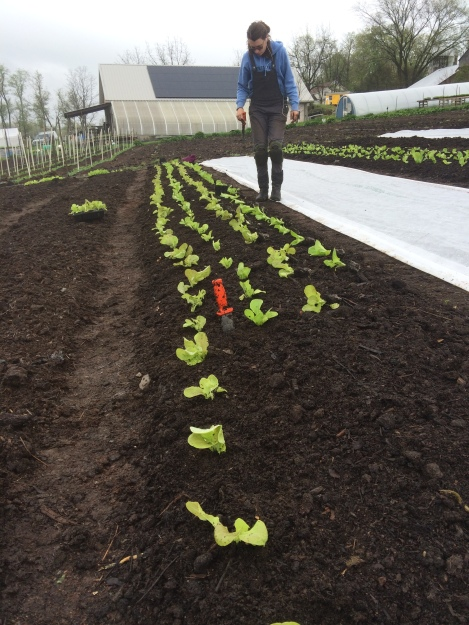 Some rainy day lettuce planting awhile back.