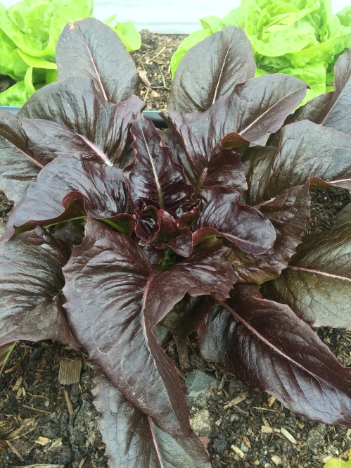 Every time I think I've found the most beautiful lettuce, another one comes along and proves me wrong, like this Red Deer Tongue Lettuce.