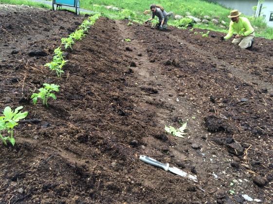 ...to tomato planting...