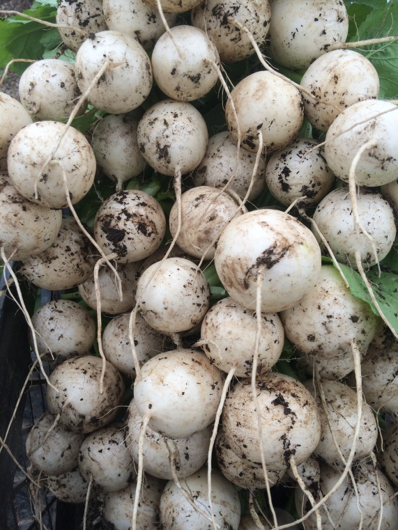 One of our favorites, hakurei turnips!  Eat them raw or cooked.