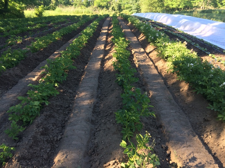 Last week's freshly hilled potatoes.