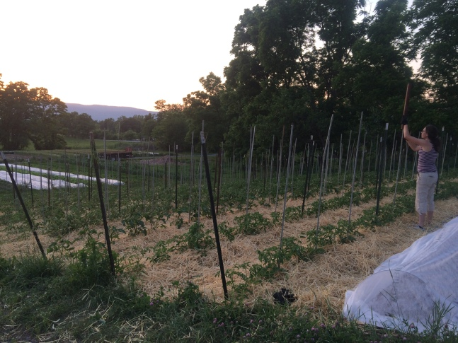 Anna avoiding the heat and putting in the last of the tomato stakes by sunset.