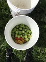 Bucket o' tomatillos!