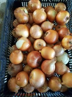 Big onion beauties.
