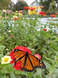 Monarch friend enjoying the flowers.