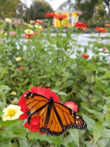 Monarch friend enjoying the flowers.