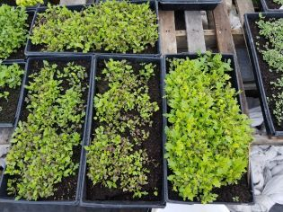 nutrient packed microgreens